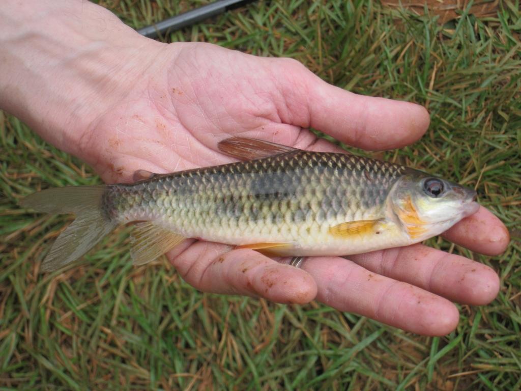 carpe Leporinus sp. Pêche et poissons en Guyane