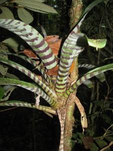 Broméliacée tigre guyane aventure