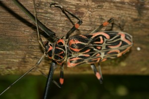 Longicorne Arthropodes Guyane aventure Expédition nature
