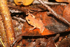 grenouille reptiles et amphibiens de Guyane aventure Herpétologie