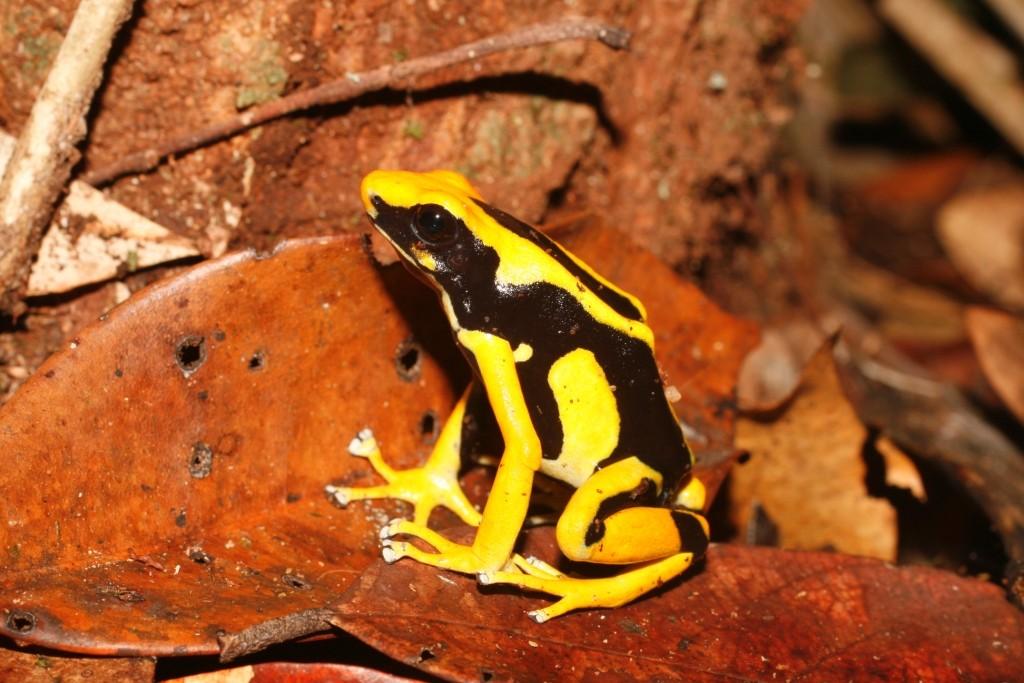 Dendrobate tinctorius reptiles et amphibiens de Guyane aventure Herpétologie